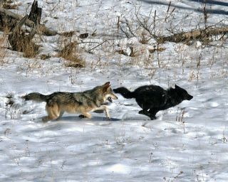 Gray wolves, which are not always gray, are protected under the Endangered Species Act.