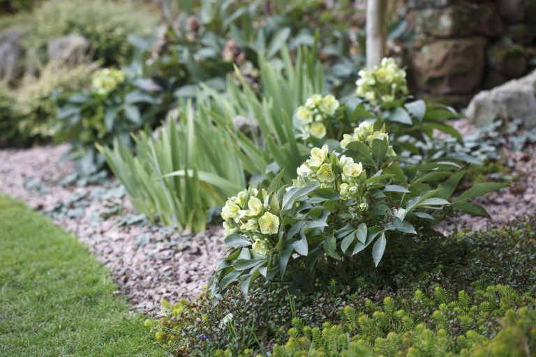 Hellebores - Christmas roses