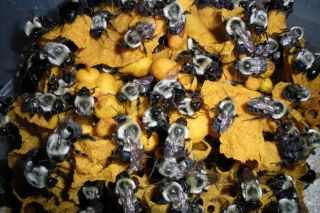 Bumblebee colony within the nest