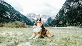 Why do dogs howl? Dog outside howling surrounded by mountains