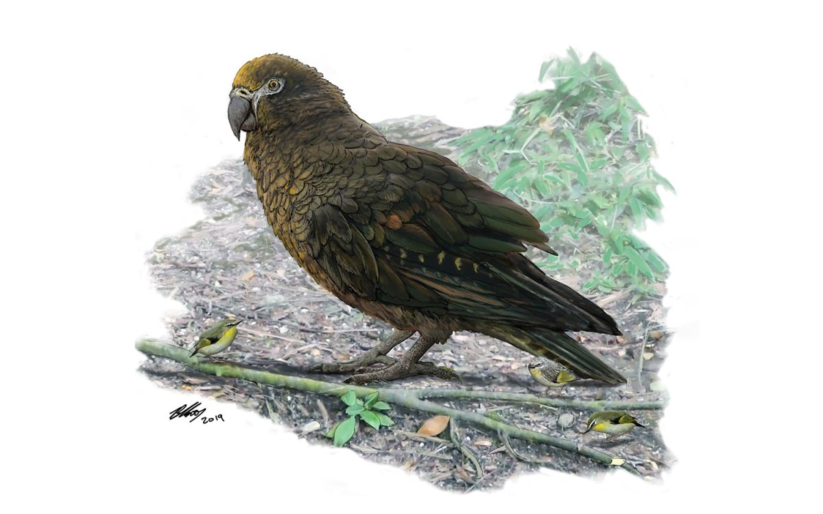 This Parrot Stood 3 Feet Tall and Ruled the Roost in New Zealand Forests 19 Million Years Ago