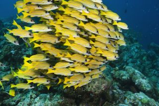 A school of yellow fish swim closely together.