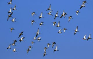 A flock of black-winged godwits migrating