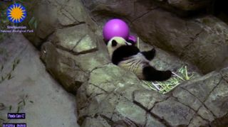 Bao Bao the panda sleeping