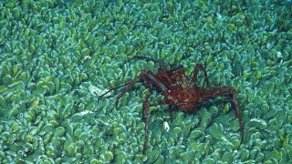 A lithodid crab seen on the mussel bed at 1 mile (1.6 kilometers) beneath the surface.