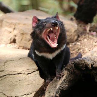 Tasmanian devil (Sarcophilus harrisii) in the wild.