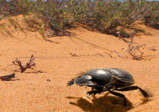 dung beetles, dung