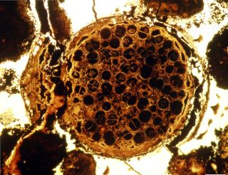 Multicellular Spherical Fossil