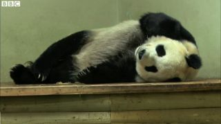 Female panda Tian Tian resting in her enclosure at the Edinburgh Zoo in August 2013.