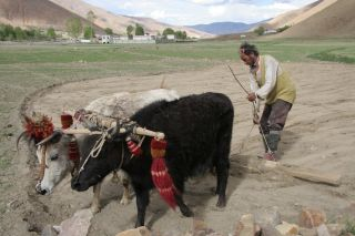 Even though there is less oxygen at high altitudes, Tibetans are able to work hard and consume sufficient amounts.