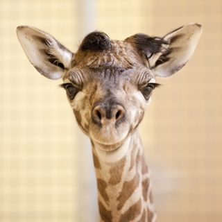 The giraffe calf born at the Nashville Zoo on June 10 smiles.