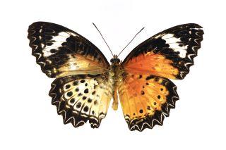 Leopard lacewing butterfly gynandromorph