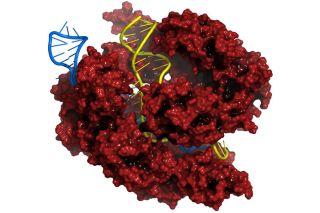 Red Cas9 nuclease protein, CRISPR