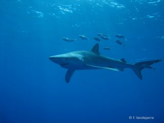 Blue sharks swimming off the Azores, an island chain in the North Atlantic Ocean.