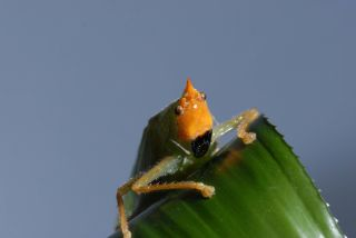 Katydid with human ears