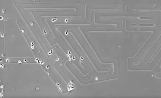 Cells solving a microscopic replica of the infamous Hampton Court hedge maze, using an intuitive process called chemotaxis