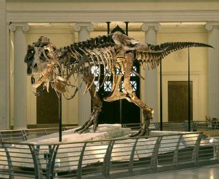 The <em>Tyrannosaurus rex</em> named Sue, shown here at The Field Museum in Chicago, may not have used her little arms much when she was alive, scientists say.