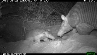 A baby giant armadillo and its mother. This is first footage of a mother and its baby.