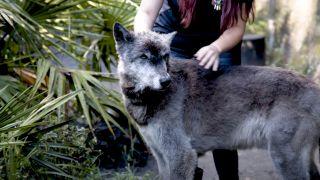 Yuki the wolf-dog
