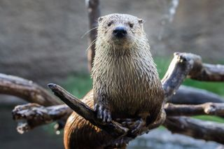 A river otter.