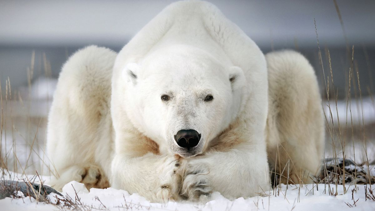 Polar bears bash walrus skulls with boulders and ice blocks, study suggests