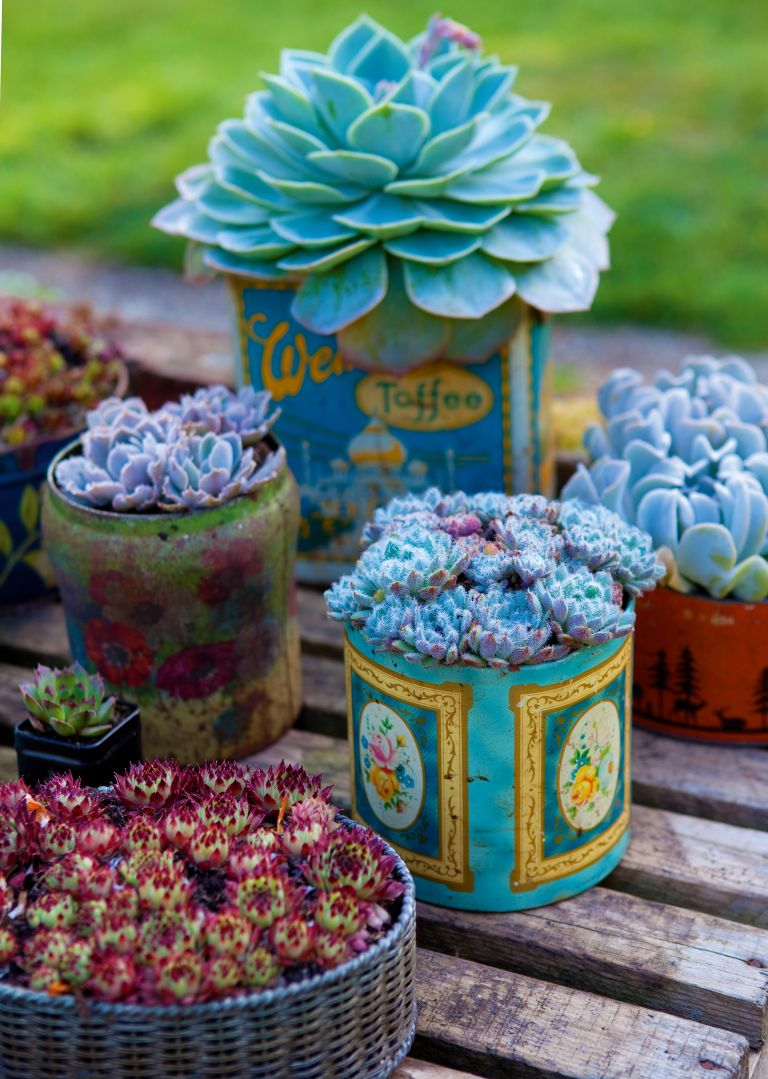 Succulents planted in vintage tins