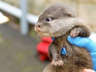 Otters born at Perth Zoo.
