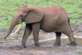 An elephant in a bai, or forest clearing, in a new world heritage site.