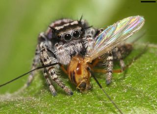 A jumping spider, <em>Phidippus mystaceus</em>, feeding on a type of fly called a nematoceran.