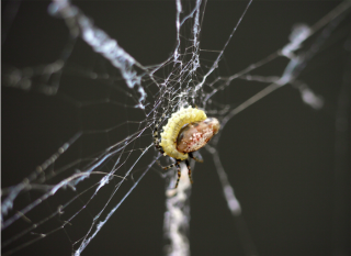 The larva kills the host spider.