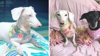 Duke the albino dachshund