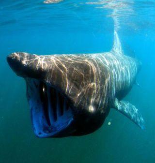 sharks, basking sharks, largest fish in the world, satellite tracking, animal telemetry, fisheries service, california coast, pacific ocean, pacific fish, marine biology, shark biology