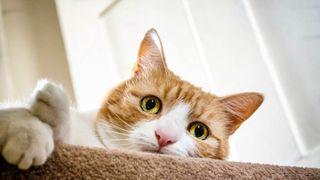 Ginger cat descending stairs