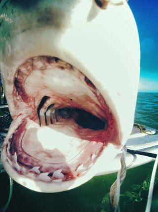 a tiger shark with its mouth wide open