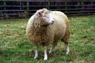 Dolly the Sheep in a field at The Roslin Institute.
