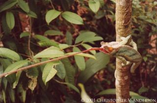 A male Parson's chameleon (<em>Calumma parsonii parsonii</em>) projects its tongue.