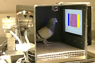 Pigeons were trained to use a touchscreen to choose between images showing normal and cancerous breast tissue (the blue and yellow bars were used as the choice buttons).