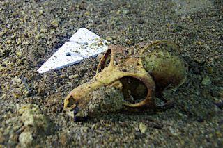 fossil skull of an extinct lemur