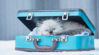 Birman kitten inside one of the best DIY cat beds made from an old vintage light blue suitcase