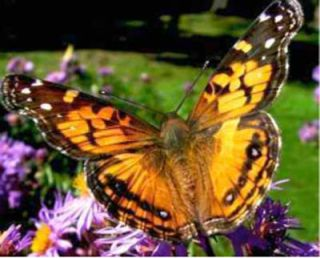 Butterflies to Hitch Orbital Ride on Space Shuttle