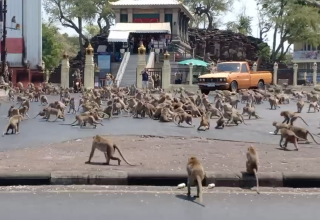 Rival gangs of macaques brawl in the streets of Thailand.