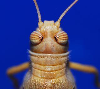 Locust close up