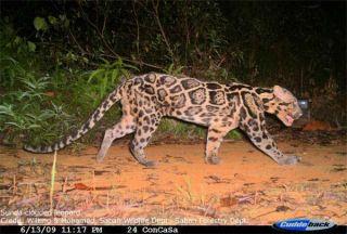 sunda-clouded-leopard-110125-02