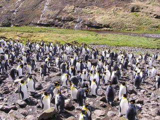 King penguins on Possession Island.