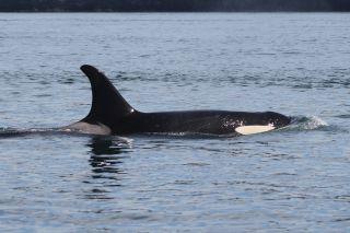 Orca whale J17
