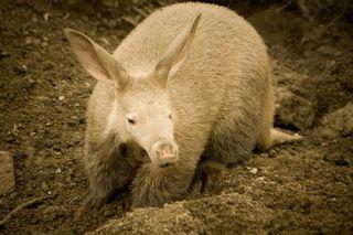 An aardvark, kangaroo, Australia