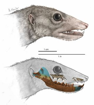 An illustration of <em>Haramiyavia</em>, the earliest known proto-mammal, whose identity is based on a reconstruction of its 210-million-year-old fossil jaw (superimposed on bottom illustration).