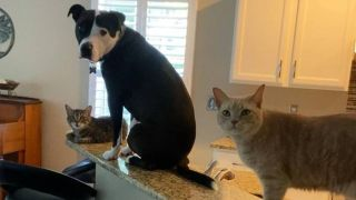 Mako the Pit Bull thinks he's a cat