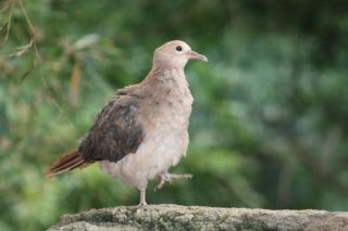 pink-pigeon-chick-101129-02