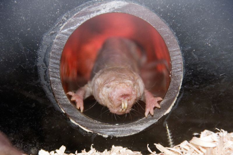 MERRIAMS KANGAROO RAT LIFE EXPECTANCY